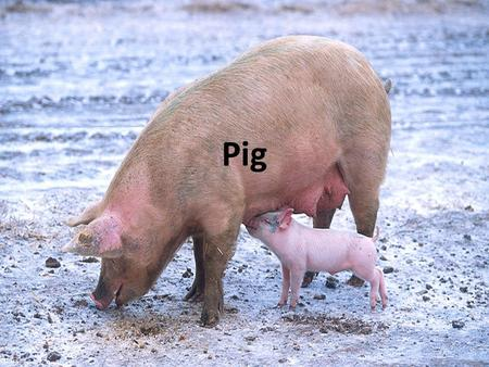 Pig. With around 2 billion individuals alive at any time, the domesticated pig is one of the most numerous large mammals on the planet. The ancestor of.
