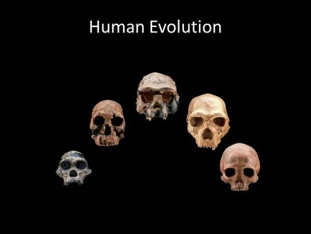 Human Evolution. Primate Classification Characteristics: – Eyes in front of the face – Opposable thumb – Well developed brain – Omnivorous D: Eukarya.
