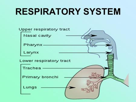 RESPIRATORY SYSTEM. I. Function – to take in oxygen & get rid of carbon dioxide (for cell respiration) A. Respiration = internal (cell) + external (breathing)