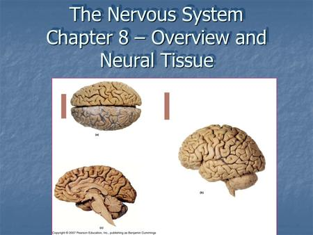 The Nervous System Chapter 8 – Overview and Neural Tissue.