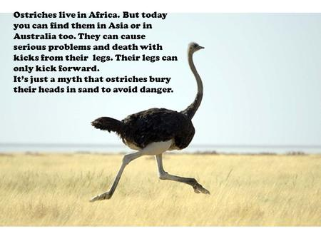 Ostriches live in Africa. But today you can find them in Asia or in Australia too. They can cause serious problems and death with kicks from their legs.
