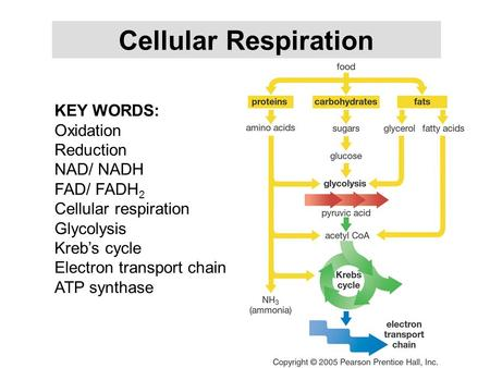 Cellular Respiration KEY WORDS: Oxidation Reduction NAD/ NADH FAD/ FADH 2 Cellular respiration Glycolysis Kreb's cycle Electron transport chain ATP synthase.
