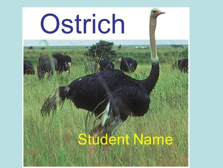 Ostrich Student Name. Ostrich Water An ostrich can go for long periods of time without water, but still need a water supply. Food Ostrich's eat mostly.
