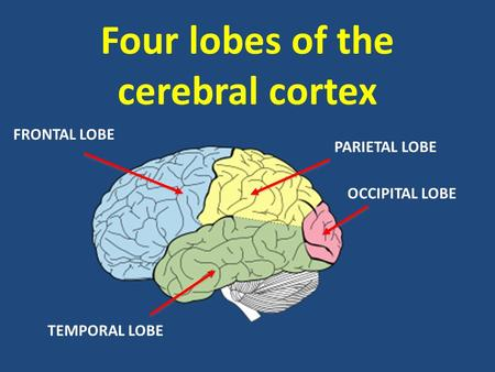 Four lobes of the cerebral cortex FRONTAL LOBE OCCIPITAL LOBE TEMPORAL LOBE PARIETAL LOBE.