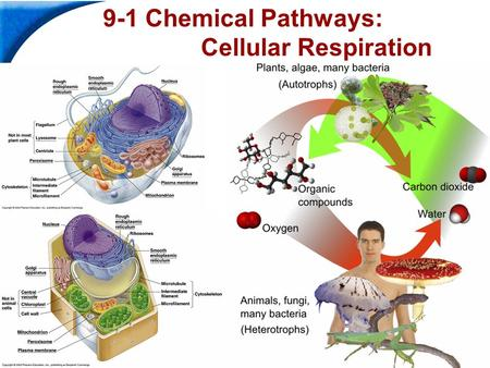 End Show Slide 1 of 39 9-1 Chemical Pathways: Cellular Respiration.