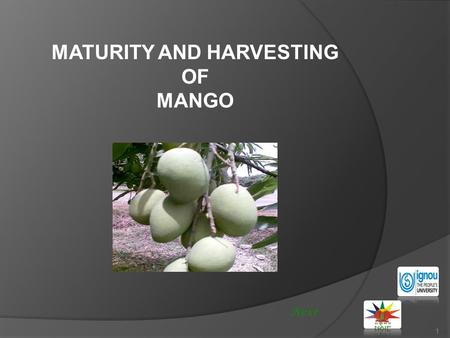 1 MATURITY AND HARVESTING OF MANGO Next. MATURITY AND HARVESTING OF MANGO 2 Mango is known as the king fruit of India. About 1600 varieties are registered.