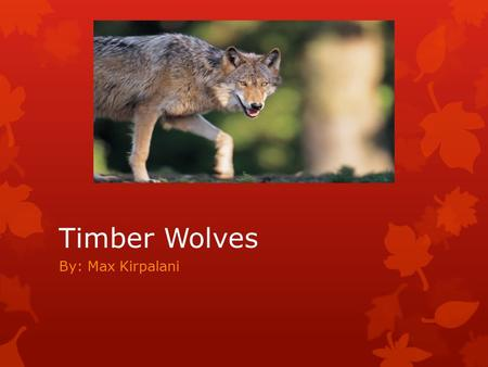 Timber Wolves By: Max Kirpalani. Basic Facts The timber wolf is a mammal. This animal weighs 75 to 125 pounds. Lives for 7 to 10 years.