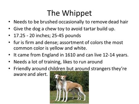 The Whippet Needs to be brushed occasionally to remove dead hair Give the dog a chew toy to avoid tartar build up. 17.25 - 20 inches; 25-45 pounds fur.