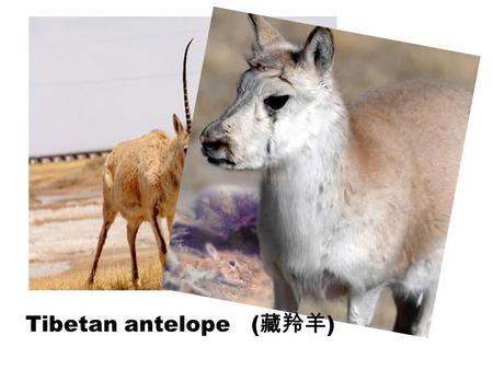 Tibetan antelope ( 藏羚羊 ). Cheap Environment- friendly Healthy Convenient … Tiring Be influenced by weather A little slow …