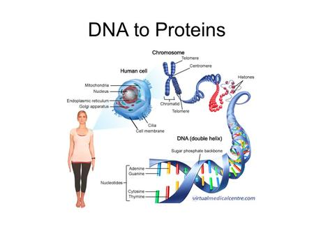 DNA to Proteins. Unraveling DNA *The structure of DNA allows it to hold information *The order of the bases is the code that carries the information *A.
