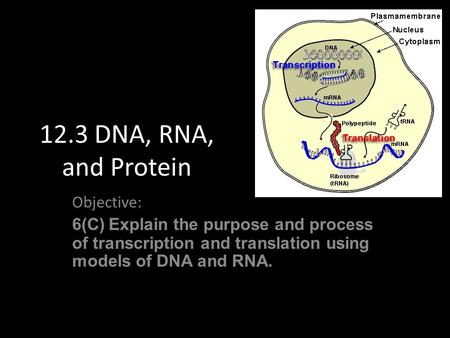 12.3 DNA, RNA, and Protein Objective: 6(C) Explain the purpose and process of transcription and translation using models of DNA and RNA.
