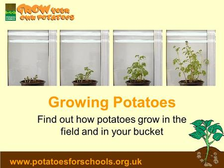 Www.potatoesforschools.org.uk Growing Potatoes Find out how potatoes grow in the field and in your bucket.