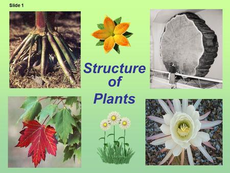 Structure of Plants Slide 1. A. Functions of Roots 1.Anchor & support plant in the ground 2.Absorb water & minerals 3.Hold soil in place Slide 2 Fibrous.