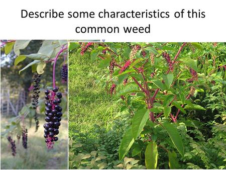 Describe some characteristics of this common weed.