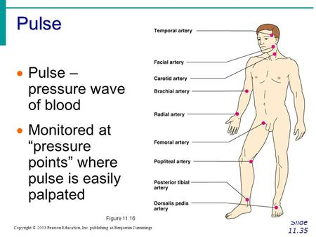 "Pulse Slide 11.35 Copyright © 2003 Pearson Education, Inc. publishing as Benjamin Cummings  Pulse – pressure wave of blood  Monitored at ""pressure points"""