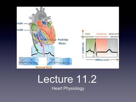 Lecture 11.2 Heart Physiology. Conduction System of the Heart Intrinsic/Nodal System: spontaneous, independent of nervous system Causes heart muscle depolarize.