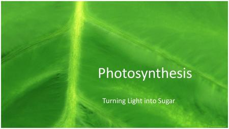 Photosynthesis Turning Light into Sugar. By the end I will be able to… o explain how energy is absorbed by pigments, transferred through the reduction.