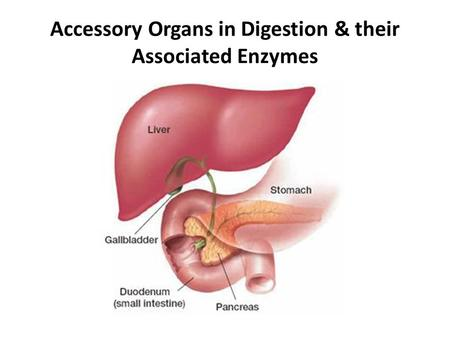 Accessory Organs in Digestion & their Associated Enzymes.