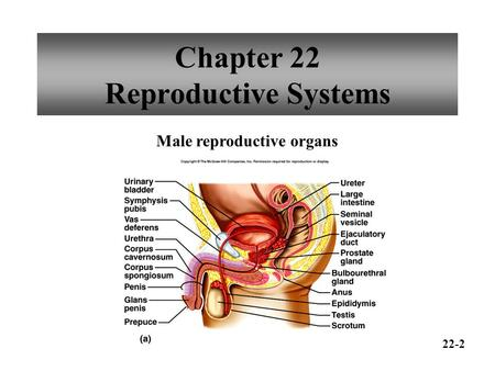Chapter 22 Reproductive Systems Male reproductive organs 22-2.