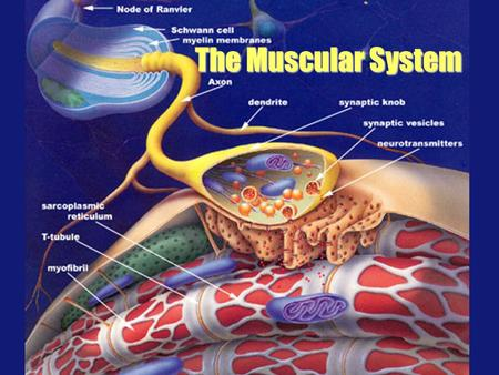 The Muscular System. produce movement maintain posture stabilize joints generate heat Muscle Function.