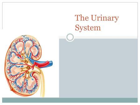 The Urinary System. 2 Paired kidneys A ureter for each kidney Urinary bladder Urethra Also known as the RENAL SYSTEM.