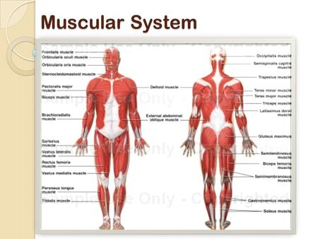 Muscular System. Muscular System Functions: 1. produce movement 2. Maintain posture 3. Stabilize joints 4. Generate heat 5. Move substances (fluid, food.