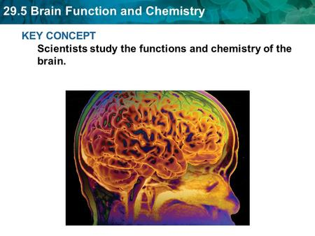 29.5 Brain Function and Chemistry KEY CONCEPT Scientists study the functions and chemistry of the brain.