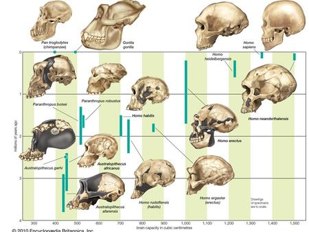 Hominins (us) review… Defined by dental features, bipedal locomotion, large brain size, and tool making behavior Characteristics that developed at different.