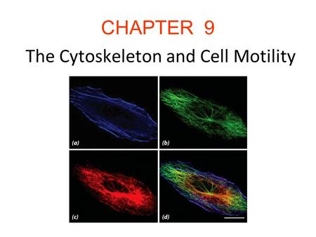 CHAPTER 9 The Cytoskeleton and Cell Motility. Introduction The cytoskeleton is a network of filamentous structures: microtubulues, microfilaments, and.