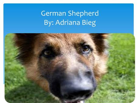German Shepherd By: Adriana Bieg.  Their outer coat is thick and straight.  The colors of their fur are black tan, black silver and any other solid.