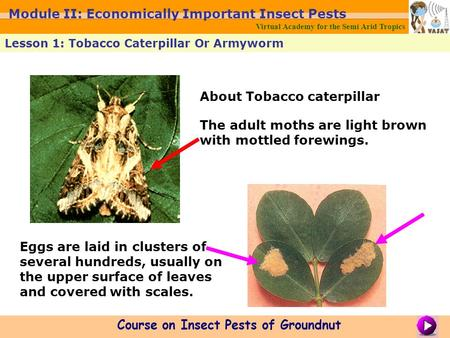 About Tobacco caterpillar The adult moths are light brown with mottled forewings. Eggs are laid in clusters of several hundreds, usually on the upper surface.