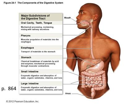 © 2012 Pearson Education, Inc. Figure 24-1 The Components of the Digestive System Mouth Anus Major Subdivisions of the Digestive Tract Oral Cavity, Teeth,