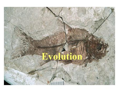 Evolution. The Evolution of Evolution Fossil discovery confounded scholars who held notion of a single time of creation; species were perfect and unchanging.
