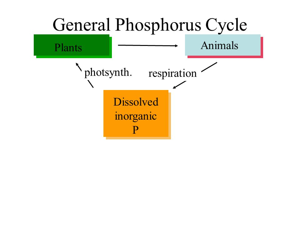 General Phosphorus Cycle Dissolved inorganic P Plants Animals Dissolved and detrital organic-P Sediments weathering fecal pellets respiration photsynth.