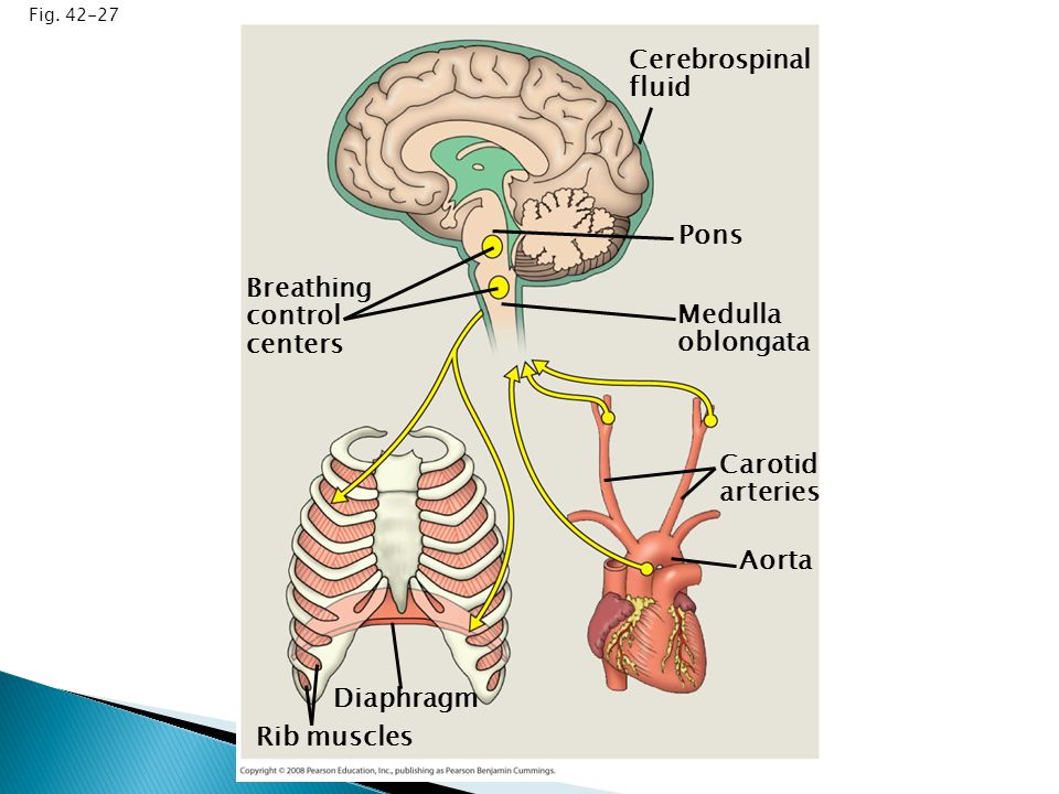  Why does oxygen move from the lungs to the circulatory system.