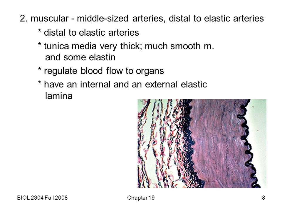 BIOL 2304 Fall 2008Chapter 199 3.arterioles - smallest arteries * tunica media contains smooth m.