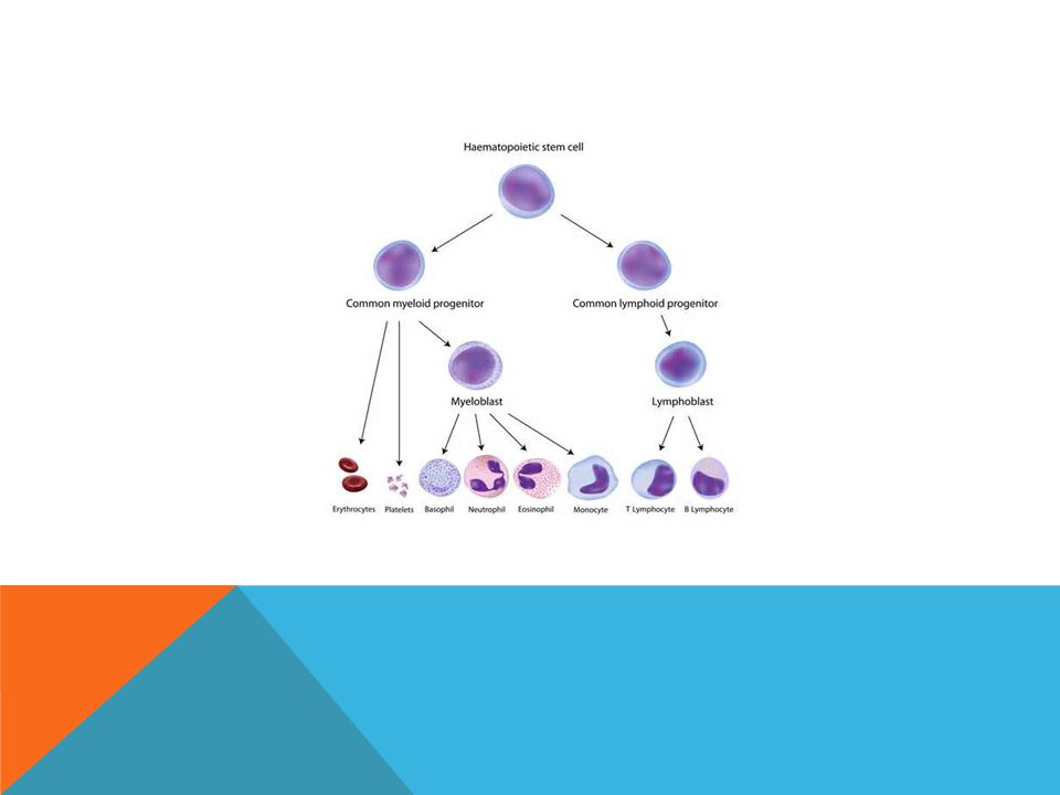 MYELOPROLIFERATIVE DISORDERS Chronic Myeloid Leukemia Ph' chromosome Polycythaemia Rubra Vera Jak-2 mutation V617F 95% Jak-2 exon 12 mutations (6) 3% Essential Thrombocythaemia Jak-2 mutation 50% CALR mutation 40% c-mpl mutation 5% Primary Myelofibrosis Jak-2 mutation 50%