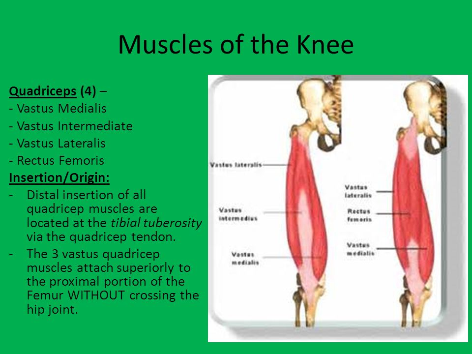 Muscles -Vastus Muscles -Do NOT cross the hip joint.