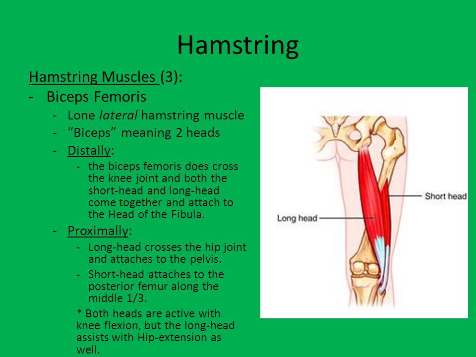 Hamstrings -Semitendinosus and Semimembranosus -Medial Hamstring muscles -Both originate proximally to the ischial tuberosity of the pelvic bones.