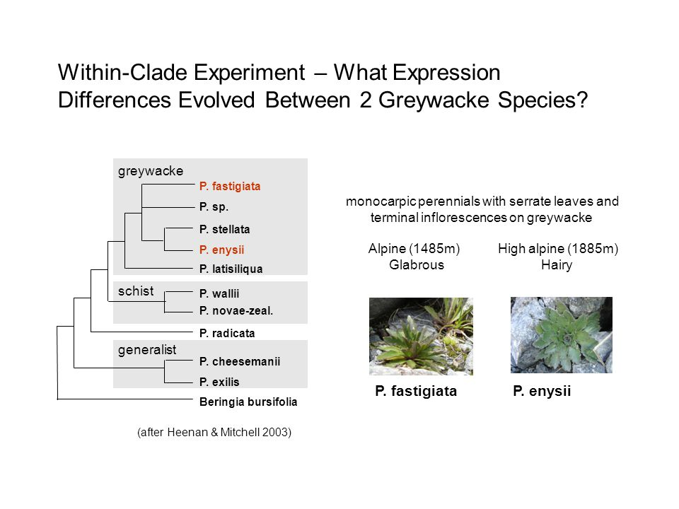 Within-Clade Experiment – What Expression Differences Evolved Between 2 Greywacke Species.