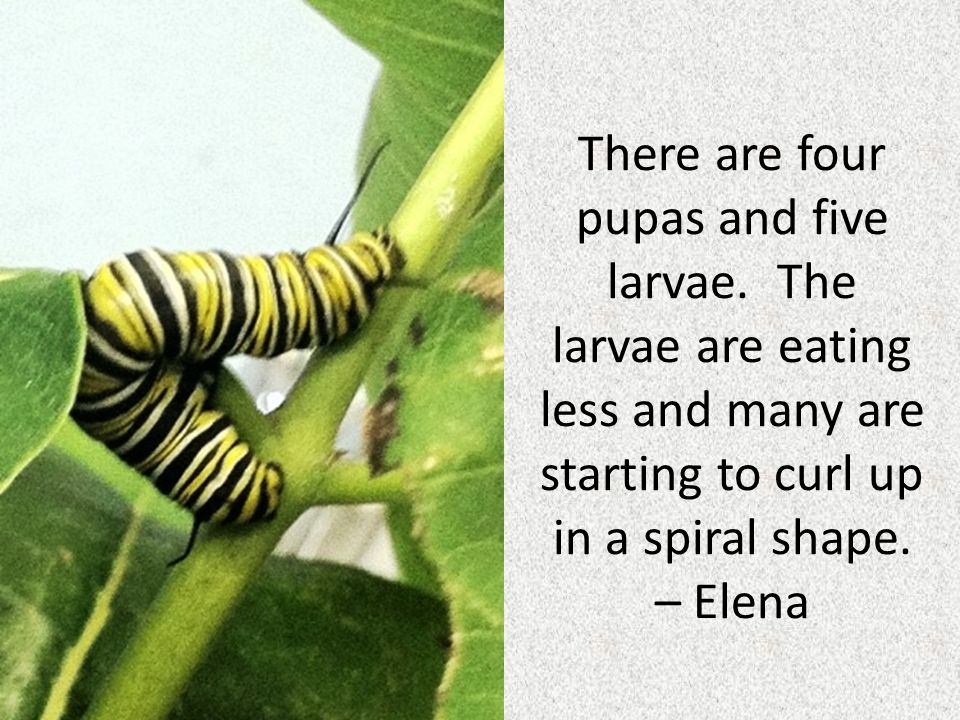 I measured one of the last caterpillars standing and I found out that it is six centimeters long.