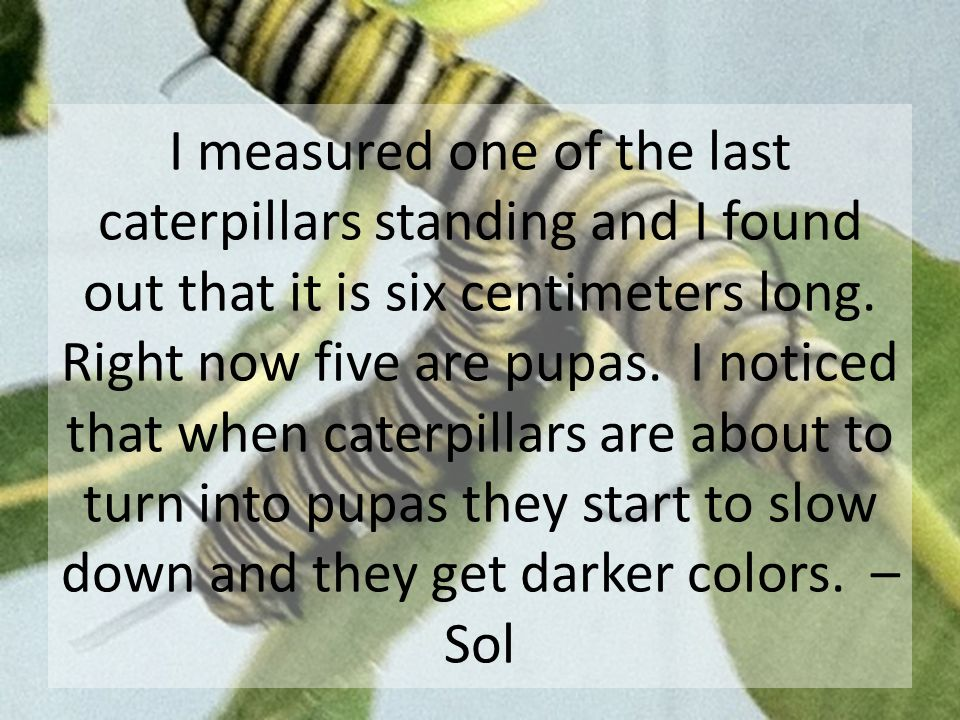 I observed that the first time I saw the caterpillars they barely moved, but now they're moving a lot.