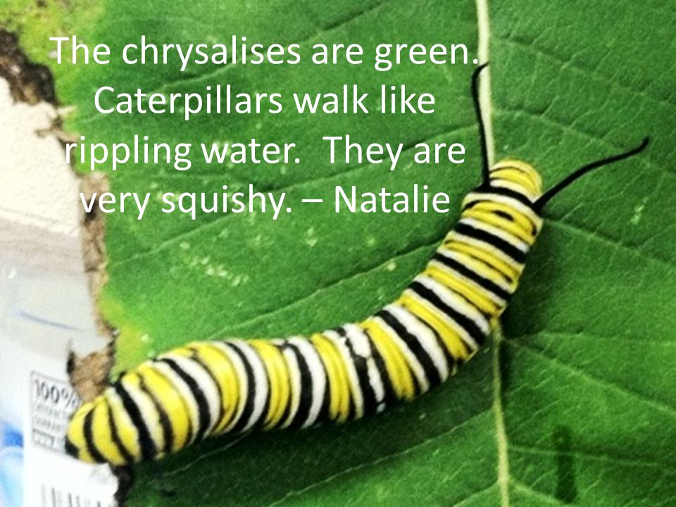 The legs are simple.It (the caterpillar) moves its head.