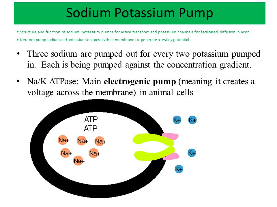Proton Pump Application: Structure and function of sodium–potassium pumps for active transport and potassium channels for facilitated diffusion in axons Proton pumps: main electrogenic pump in plants, bacteria, and fungi and Chloroplasts, Mitochondria.
