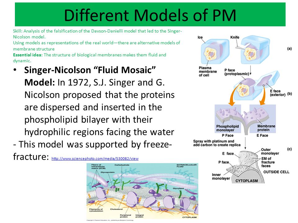 Fluidity of the Plasma Membrane The fluidity of PM comes from the movement of the phospholipids and the proteins.
