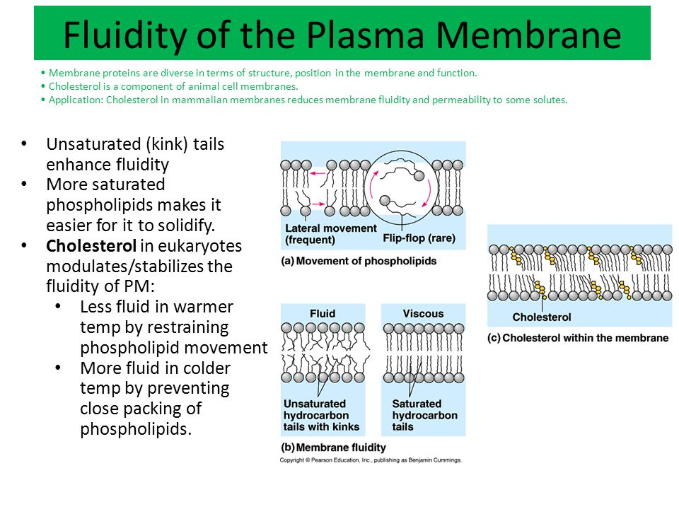 Fluidity of the Plasma Membrane Phospholipids form bilayers in water due to the amphipathic properties of phospholipid molecules.