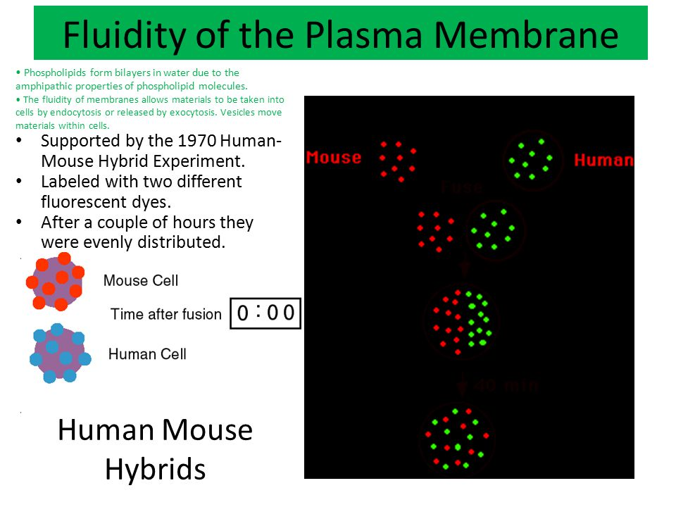 Mosaic-ness of the Plasma Membrane Membrane proteins are diverse in terms of structure, position in the membrane and function.