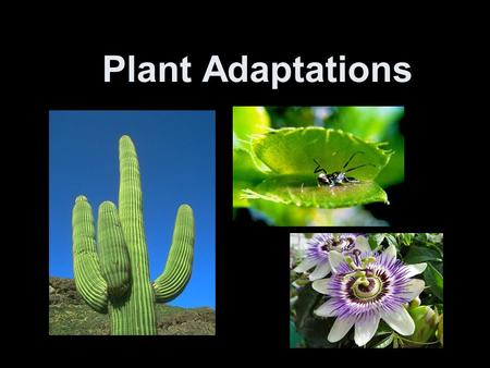 Plant Adaptations. Adaptations Adaptations- Adaptations are special features that allow a plant or animal to live in a particular place or habitat.