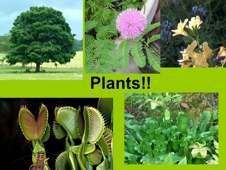 Plants!!. Land plants probably evolved from green algae about 430 million years ago.