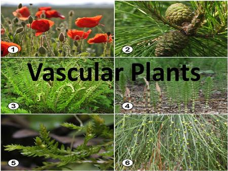 Vascular Plants. It is essential for students to know that organisms in the Plant Kingdom are classified into groups based on specific structures. All.